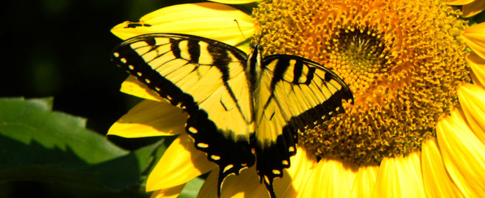 sunflower_butterfly