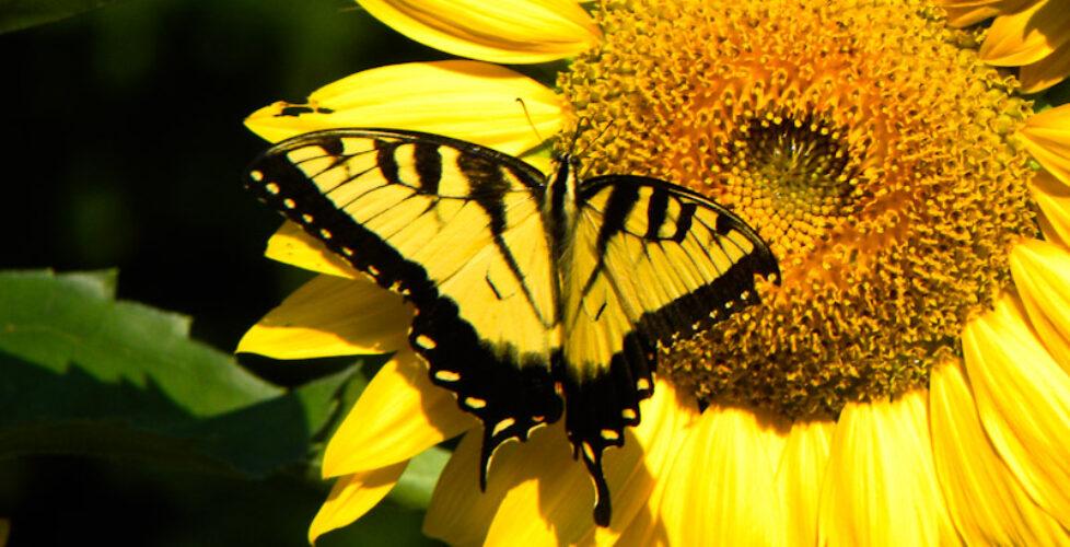 sunflower_butterfly